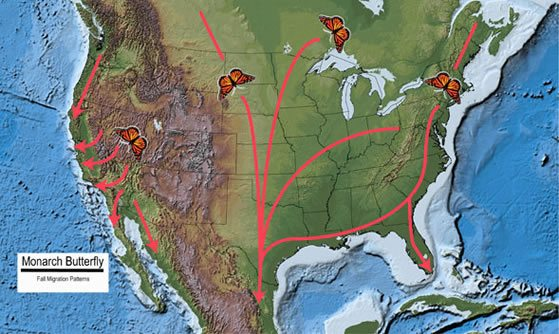 Migration pattern of North American Monarch butterfly
