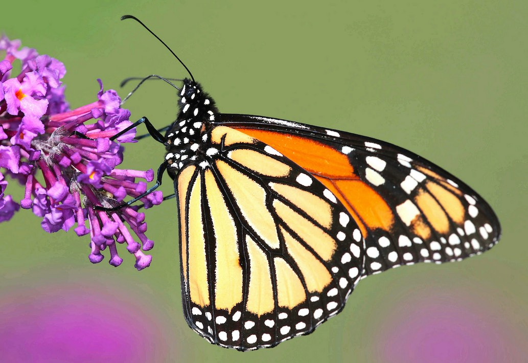 The keystone Monarch butterfly is stressed from habitat loss, agriculture and climate change